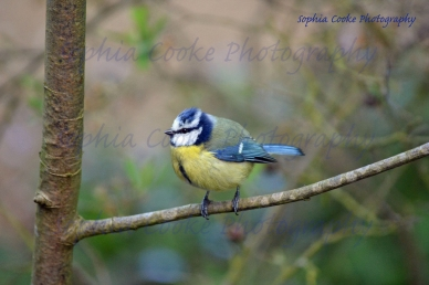 Blue Tit Norfolk 2014 S W