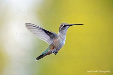 Hummingbird Montana 2018 (1) S W