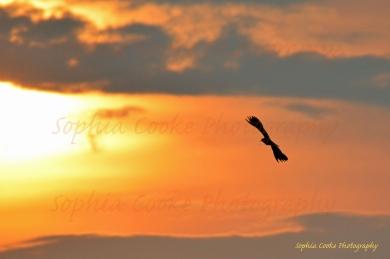Sunset Lapwing Norfolk 2014 S W